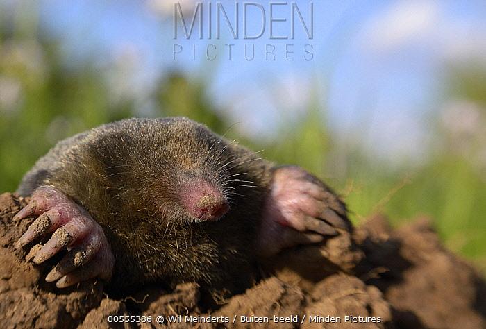 European Mole (Talpa europaea) emerging, Netherlands
