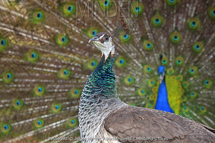 Indian Peafowl (Pavo cristatus) female with male displaying in background, Europe