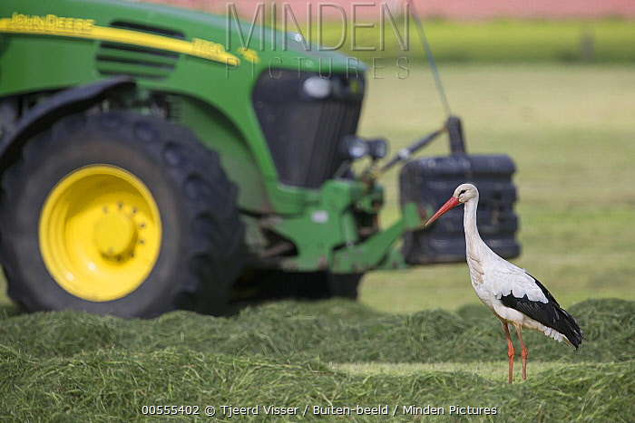 White Stork (Ciconia ciconia) foraging near tractor, Netherlands
