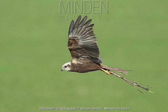 Western Marsh-Harrier (Circus aeruginosus) female carrying nest material, Netherlands