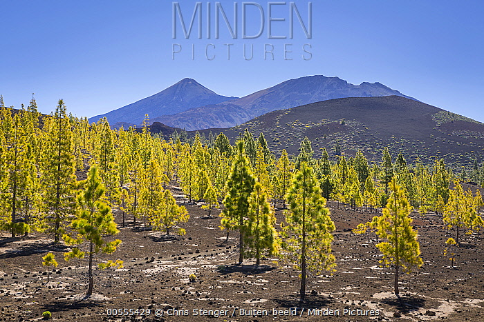Canary Island Pine (Pinus canariensis) trees, Spain