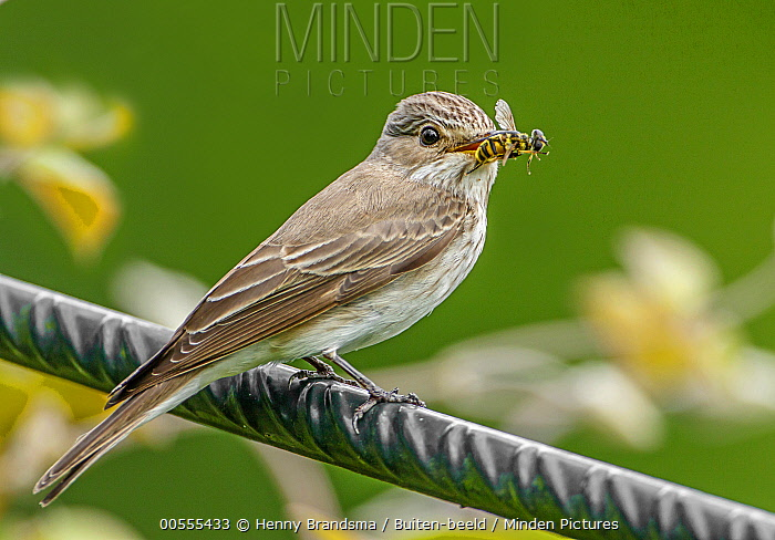 Spotted Flycatcher (Muscicapa striata) with insect prey, Netherlands