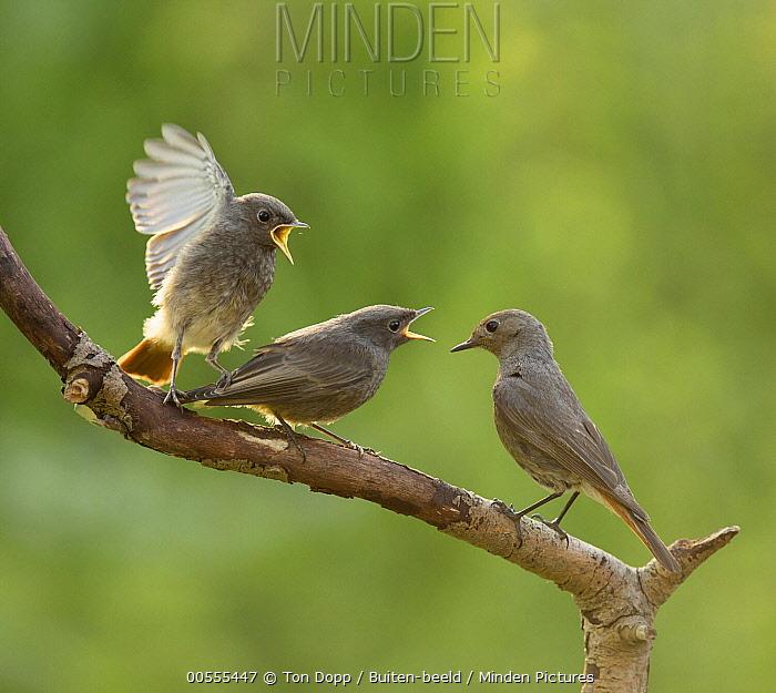 Black Redstart (Phoenicurus ochruros) and begging fledglings, Netherlands