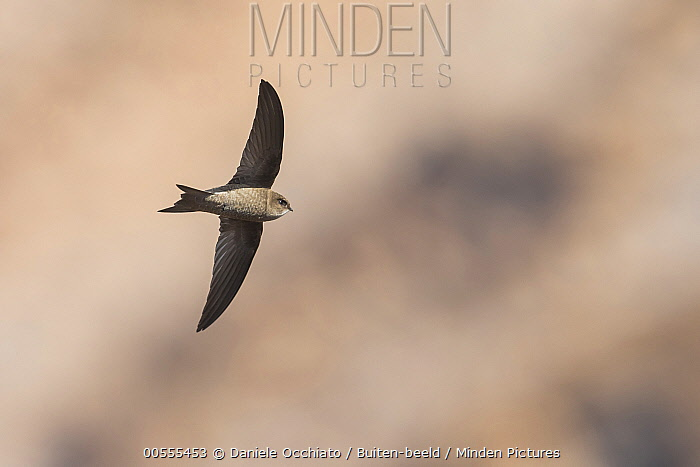 Alexander's Swift (Apus alexandri) flying, Cape Verde Archipelago, Portugal