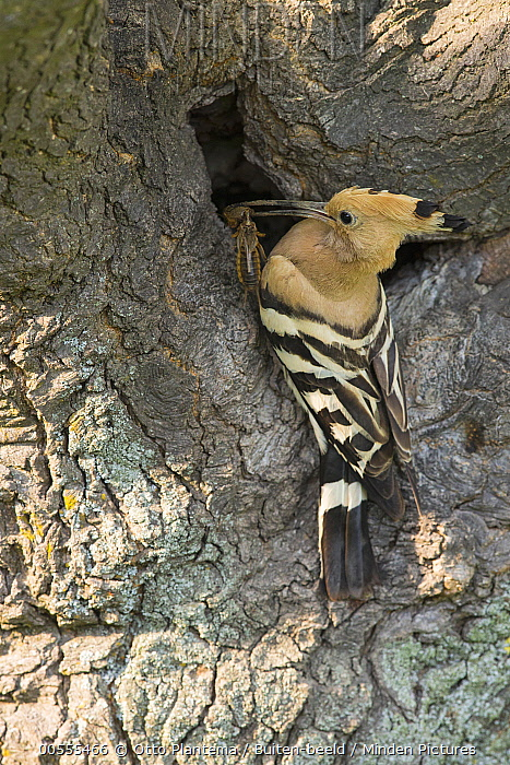 Eurasian Hoopoe (Upupa epops) with prey at nest cavity, Bulgaria