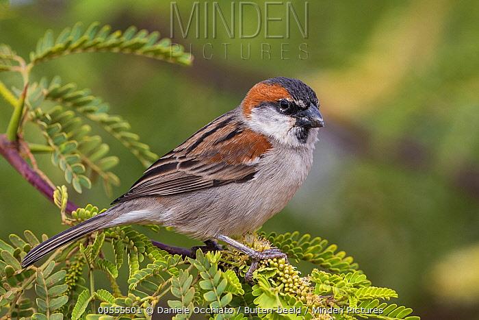 Iago Sparrow (Passer iagoensis), Cape Verde Archipelago, Portugal