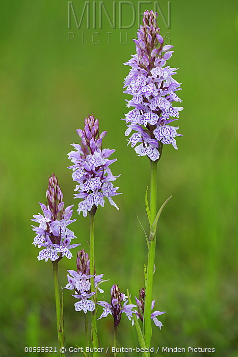 Heath Spotted Orchid (Dactylorhiza maculata) flowers, Netherlands