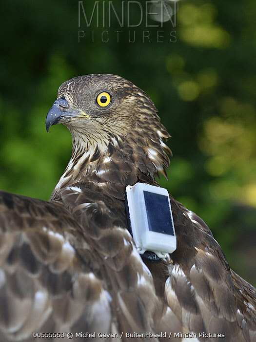 Honey Buzzard (Pernis apivorus) with tracking device, Netherlands