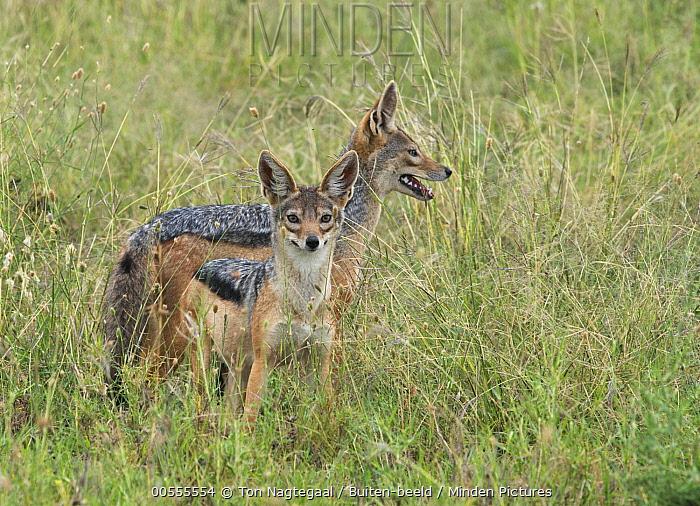 Black-backed Jackal (Canis mesomelas) pair, Serengeti, Tanzania