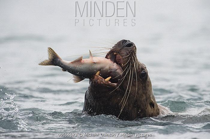 Steller's Sea Lion (Eumetopias jubatus) swallowing Pink Salmon (Oncorhynchus gorbuscha) prey, Alaska