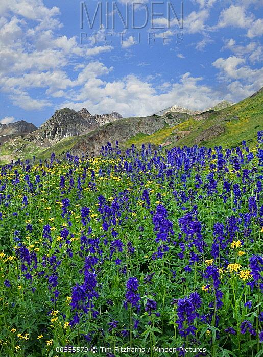 Larkspur (Delphinium sp) flowers, American Basin, Colorado