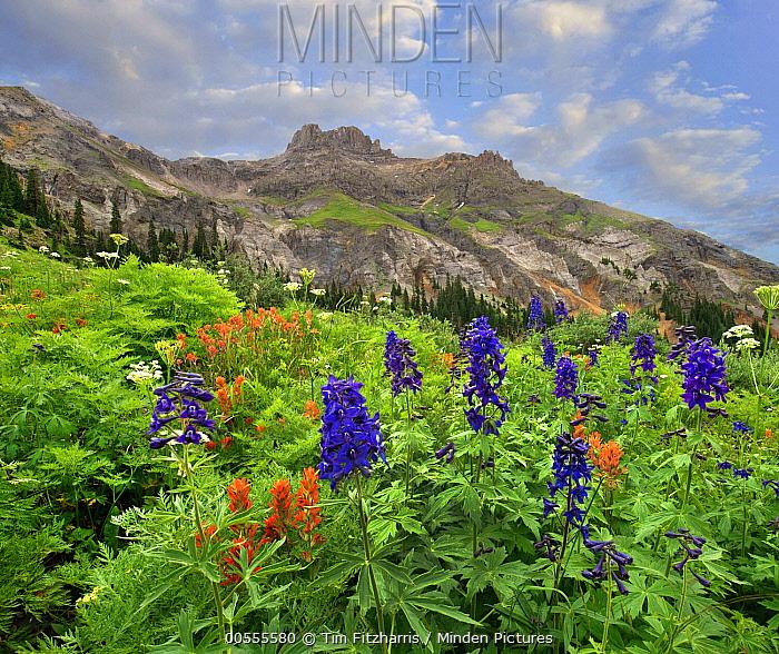 Larkspur (Delphinium sp) and Paintbrush (Castilleja sp) flowering, Yankee Boy Basin, San Juan Mountains, Colorado
