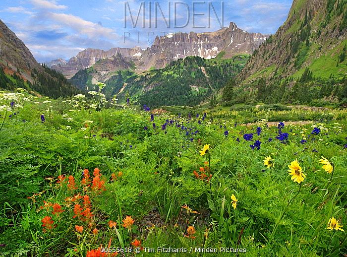 Wildflowers in canyon, Yankee Boy Basin, San Juan Mountains, Colorado