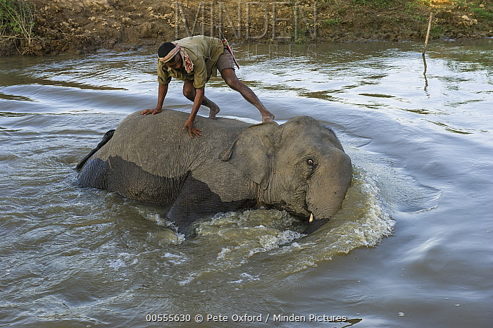 Asian Elephant (Elephas maximus) and mahout bathing, Kaziranga National Park, India