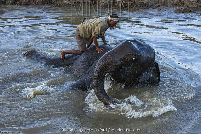 Asian Elephant (Elephas maximus) and mahout bathing, Kaziranga National Park, India