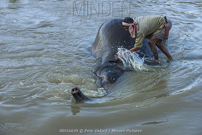 Asian Elephant (Elephas maximus) being bathed by mahout, Kaziranga National Park, India