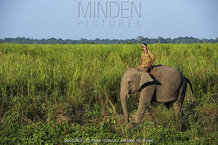 Asian Elephant (Elephas maximus) and mahout, Kaziranga National Park, India
