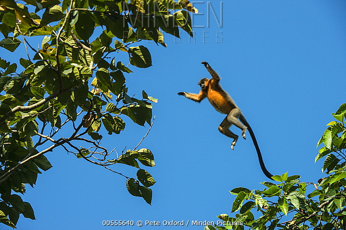 Capped Langur (Trachypithecus pileatus) leaping between trees, Nameri National Park, India