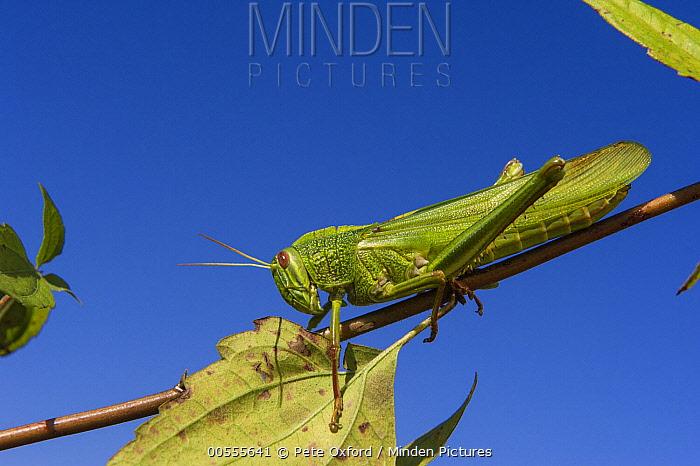 Grasshopper, Nameri National Park, India