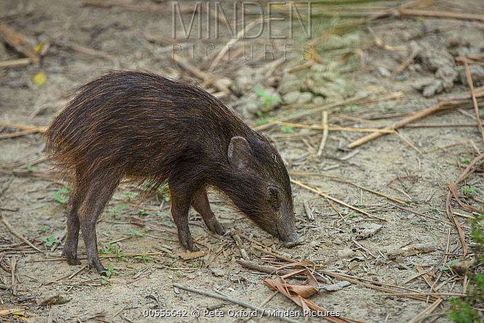 Pygmy Hog (Sus salvanius) sub-adult, Nameri National Park, India