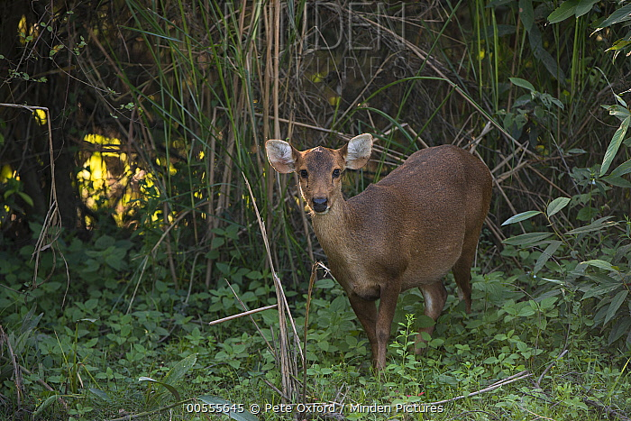 Hog Deer (Axis porcinus) female, Kaziranga National Park, India