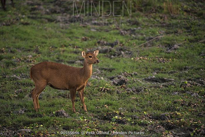 Hog Deer (Axis porcinus) female, Kaziranga National Park, India