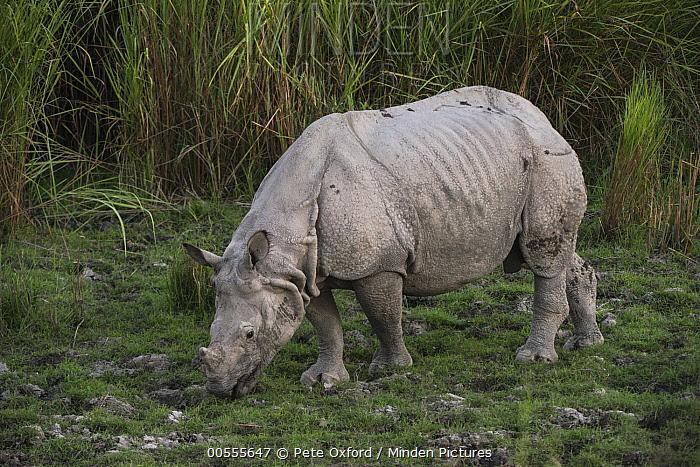 Indian Rhinoceros (Rhinoceros unicornis) grazing, Kaziranga National Park, India