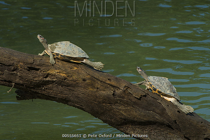 Assam Roofed Turtle (Pangshura sylhetensis) pair basking, Kaziranga National Park, India