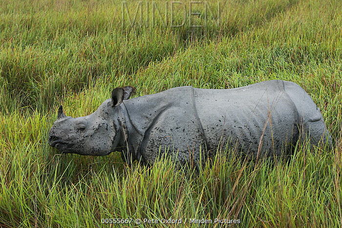 Indian Rhinoceros (Rhinoceros unicornis), Kaziranga National Park, India