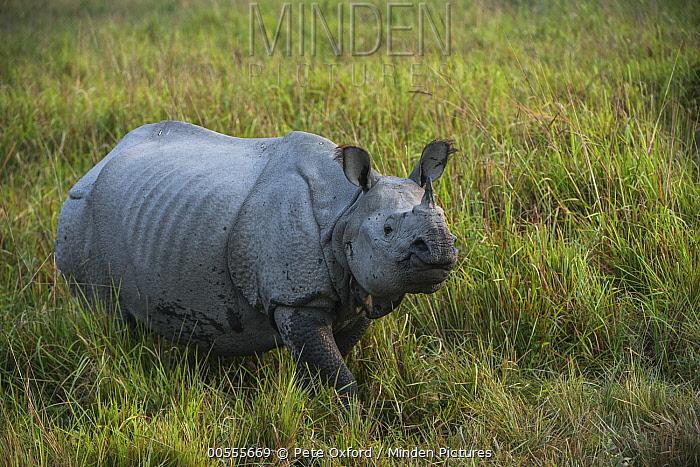 Indian Rhinoceros (Rhinoceros unicornis), Kaziranga National Park, India