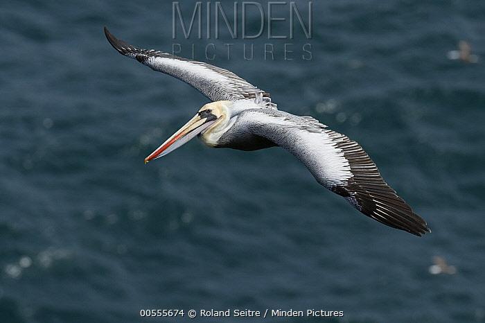 Peruvian Pelican (Pelecanus thagus) flying, Isla Guanape Sur, Peru