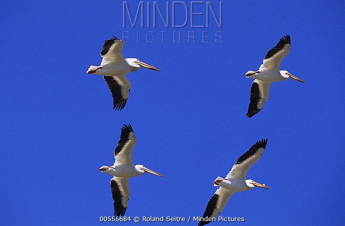 American White Pelican (Pelecanus erythrorhynchos) group flying, Canada
