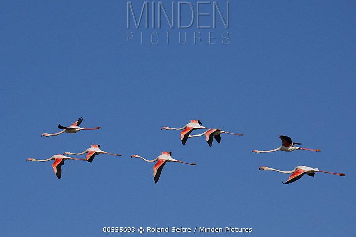 Greater Flamingo (Phoenicopterus ruber) flock flying, France