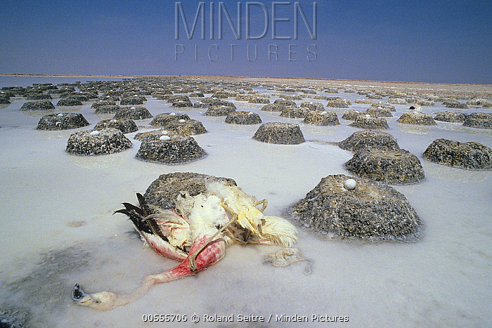 Andean Flamingo (Phoenicopterus andinus) carcass and eggs in abandoned nests, Chile