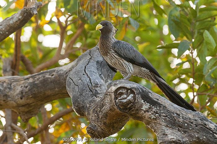 Western Grey Plantain-eater (Crinifer piscator), Fathala Wildlife Reserve, Senegal