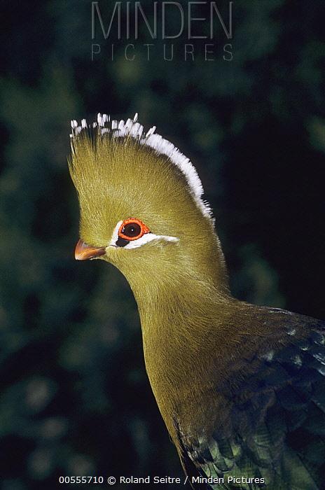 Knysna Turaco (Tauraco corythaix), native to Africa