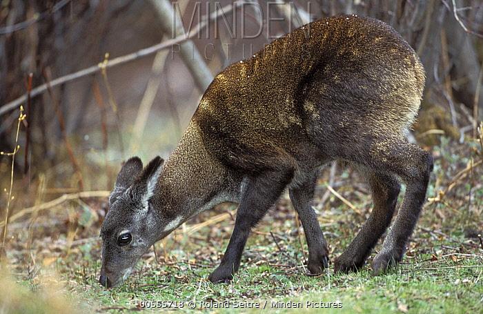 Alpine Musk Deer (Moschus chrysogaster) grazing, native to Bhutan