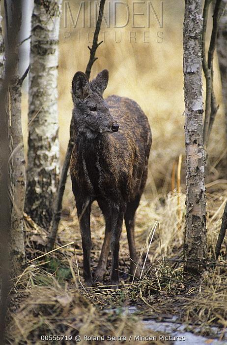 Siberian Musk Deer (Moschus moschiferus), native to Russia