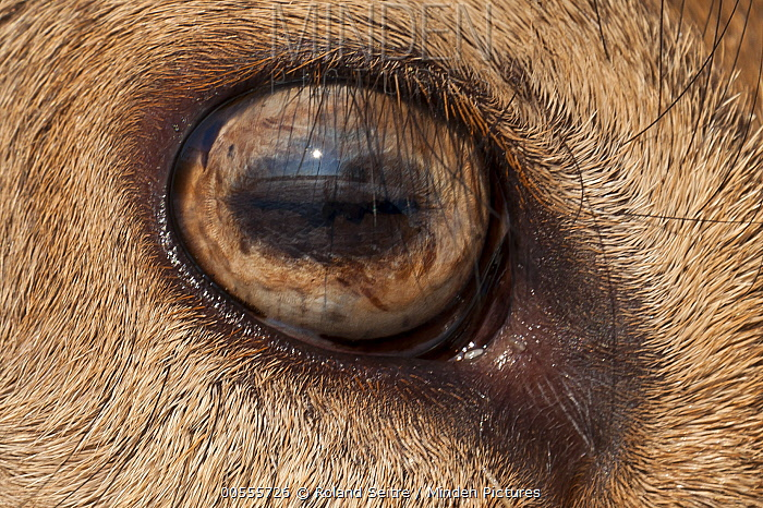 Elk (Cervus elaphus) eye, native to North America and Europe