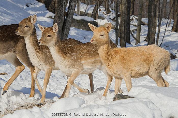 Fallow Deer (Dama dama) morphs in snow, Omega Park, Montebello, Quebec, Canada