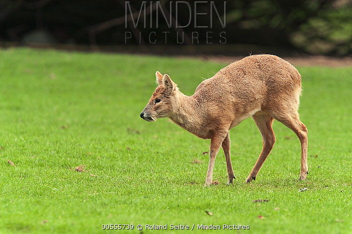 Chinese Water Deer (Hydropotes inermis), native to China