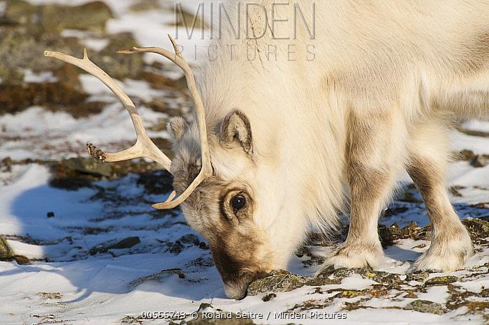 Svalbard Reindeer (Rangifer tarandus platyrhynchus) male grazing, Spitsbergen, Svalbard, Norway