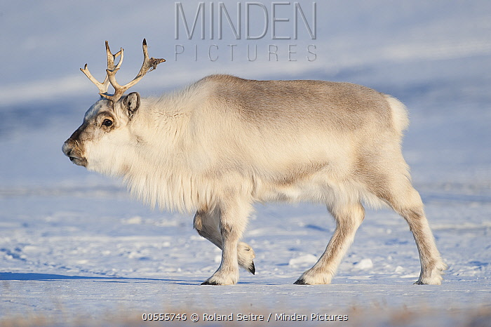 Svalbard Reindeer (Rangifer tarandus platyrhynchus) male, Spitsbergen, Svalbard, Norway