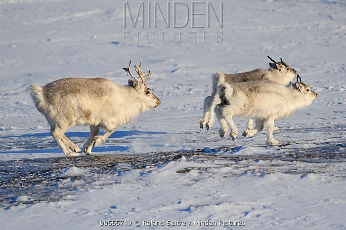 Svalbard Reindeer (Rangifer tarandus platyrhynchus) male and females running, Spitsbergen, Svalbard, Norway