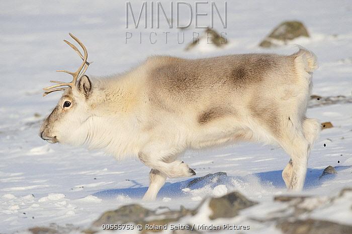 Svalbard Reindeer (Rangifer tarandus platyrhynchus) male running, Spitsbergen, Svalbard, Norway