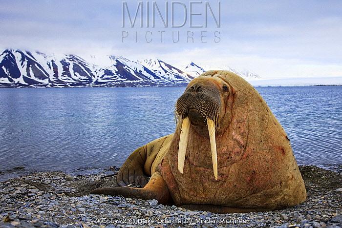Walrus (Odobenus rosmarus) on beach, Svalbard, Norway