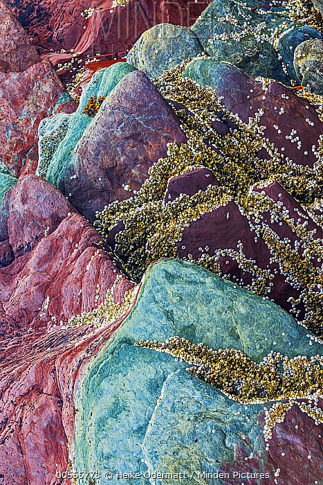 Northern Acorn Barnacle (Balanus balanoides) group on sedimentary rocks, Batsfjord, Persfjord, Varanger, Finnmark, Norway
