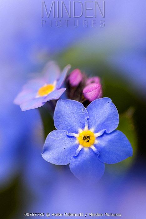 Forget-me-not (Myosotis palustris) flowers, North Brabant, Netherlands