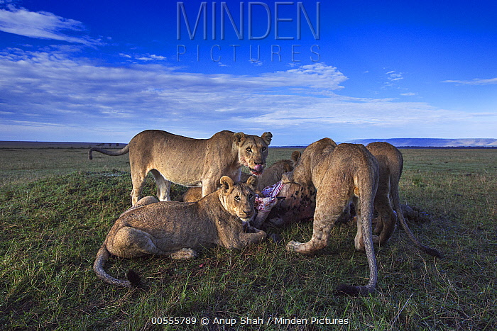African Lion (Panthera leo) pride feeding on kill, Masai Mara, Kenya
