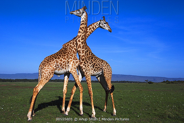 Masai Giraffe (Giraffa tippelskirchi) males necking, Masai Mara, Kenya, Sequence 3 of 3